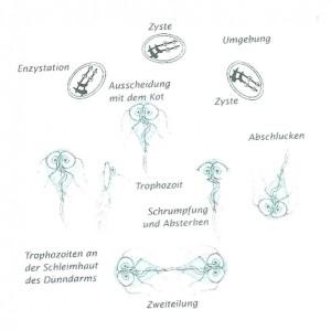 Zyklus Giardien.jpg